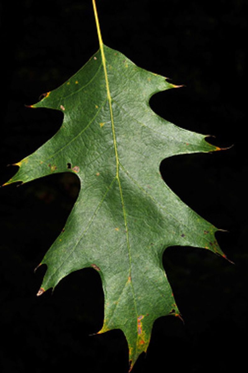 The leaf of the Northern Red Oak is oblong, with 7 to 11 wavy lobes, tapering off to irregularly shaped pointy tips.
