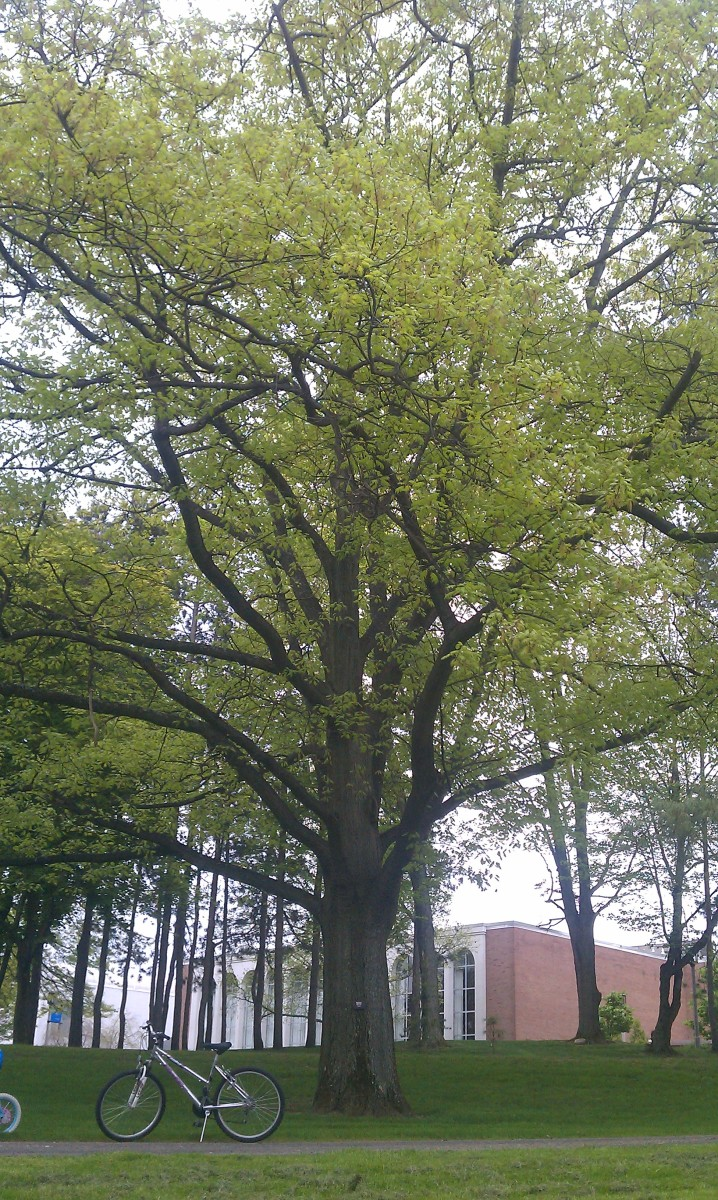 ... help create optimum growing conditions for the Northern Red Oak, which can grow up to 165 feet and live to be 500 years old!
