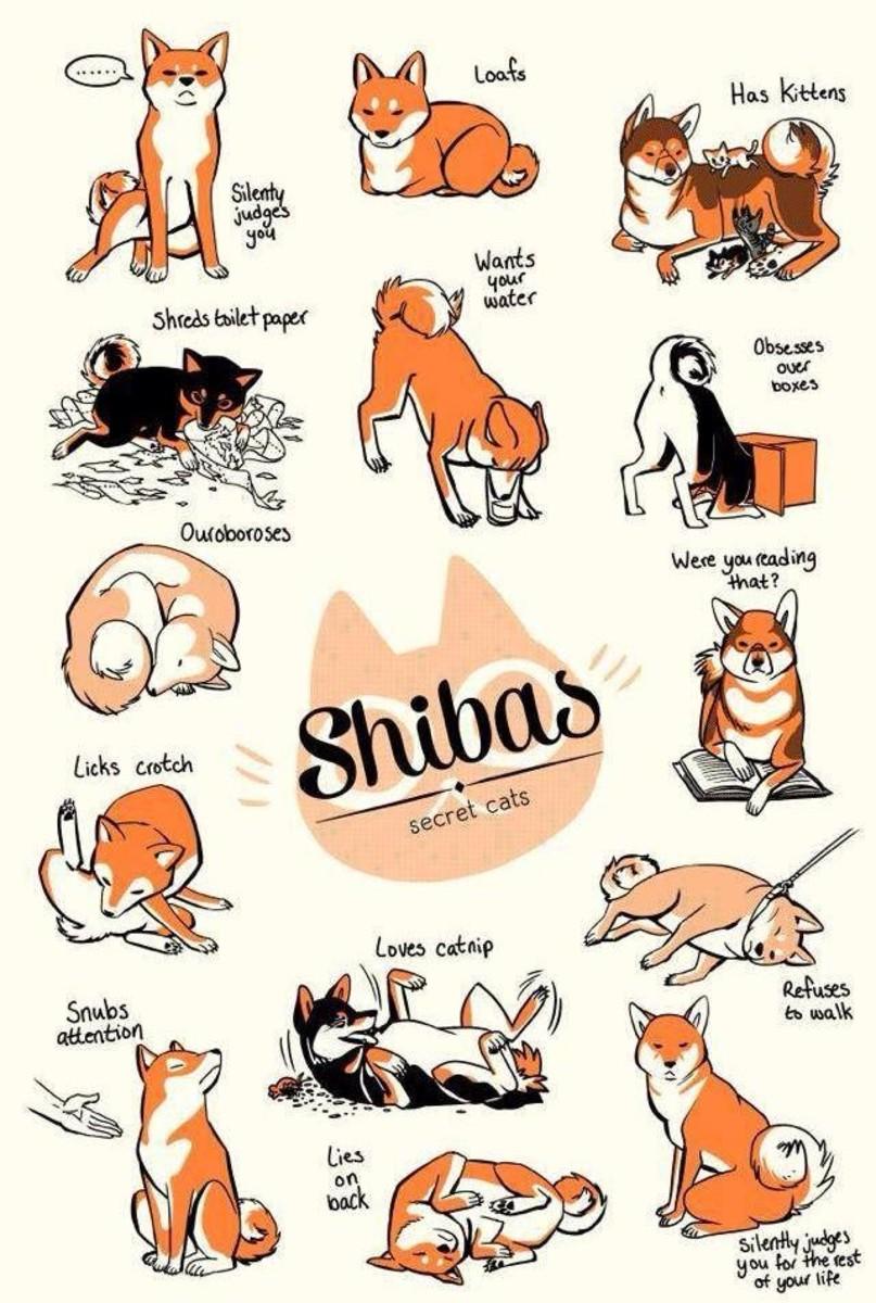 Shibas: secret cats!