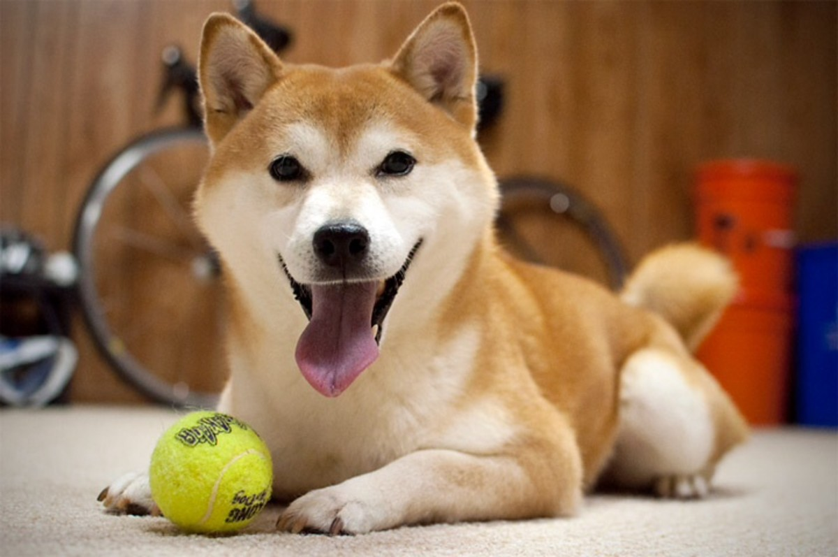 shiba-inu-the-dog-that-is-actually-a-cat