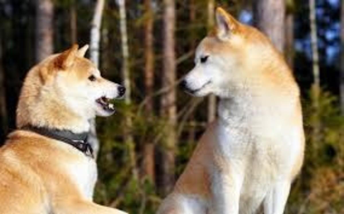 Shiba Inu dogs talking