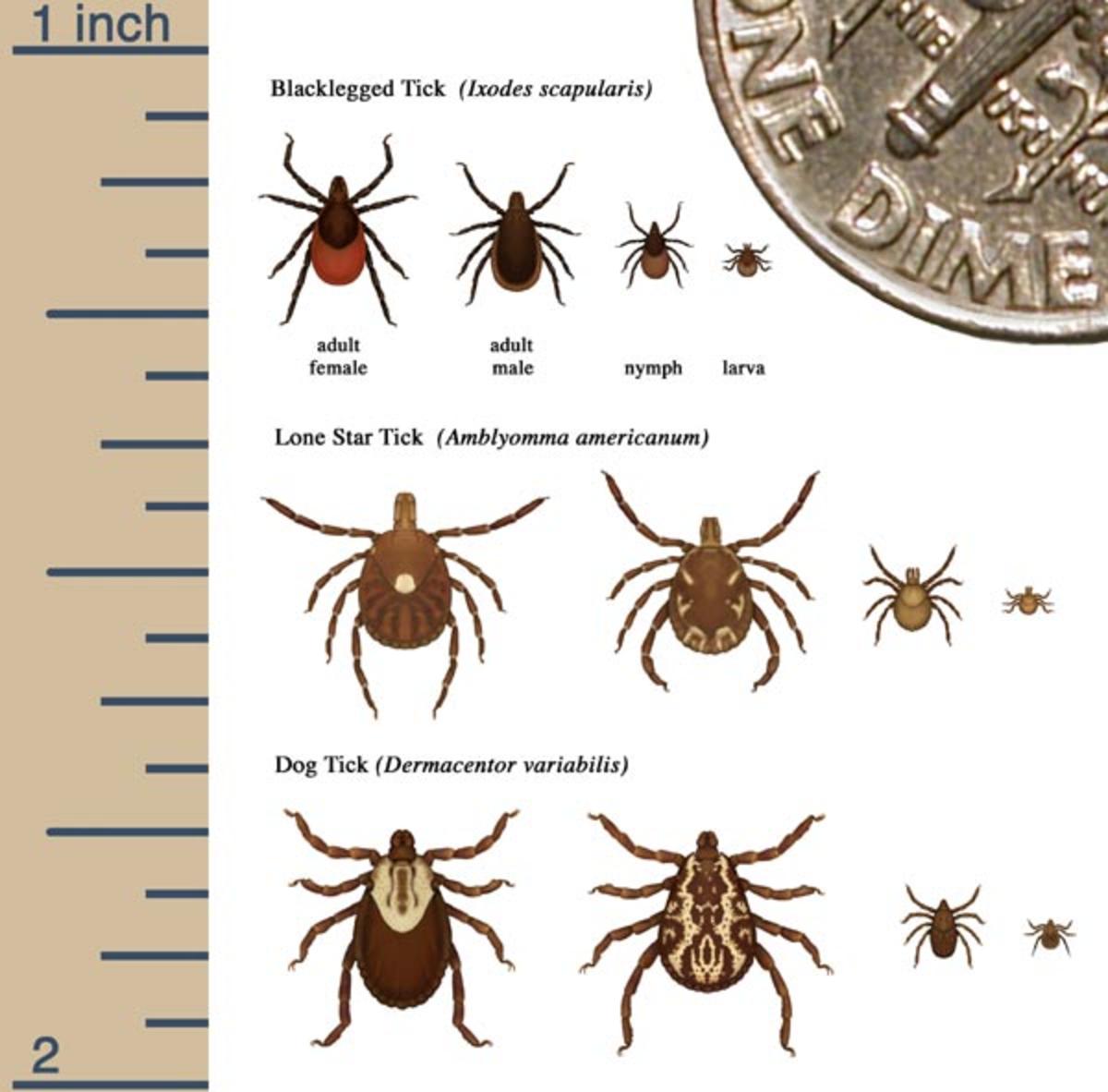 Ticks - Tick Bites