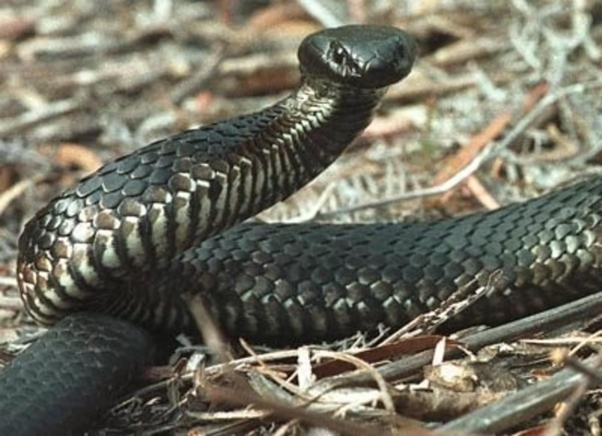 the-worlds-most-venomous-snakes