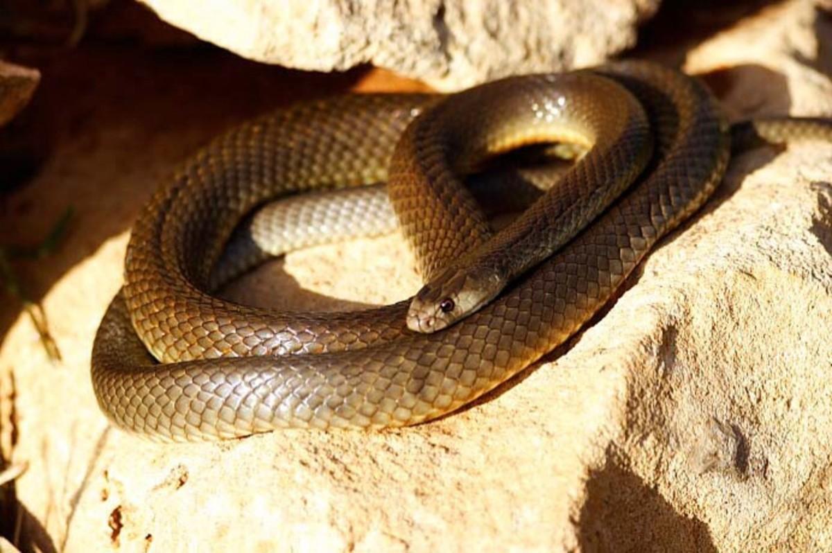 the-worlds-most-venomous-snakes