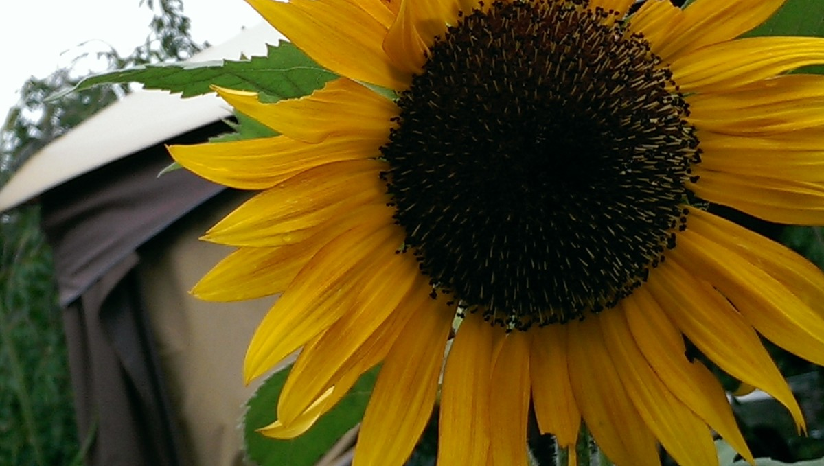 Sunflower, summer 2014