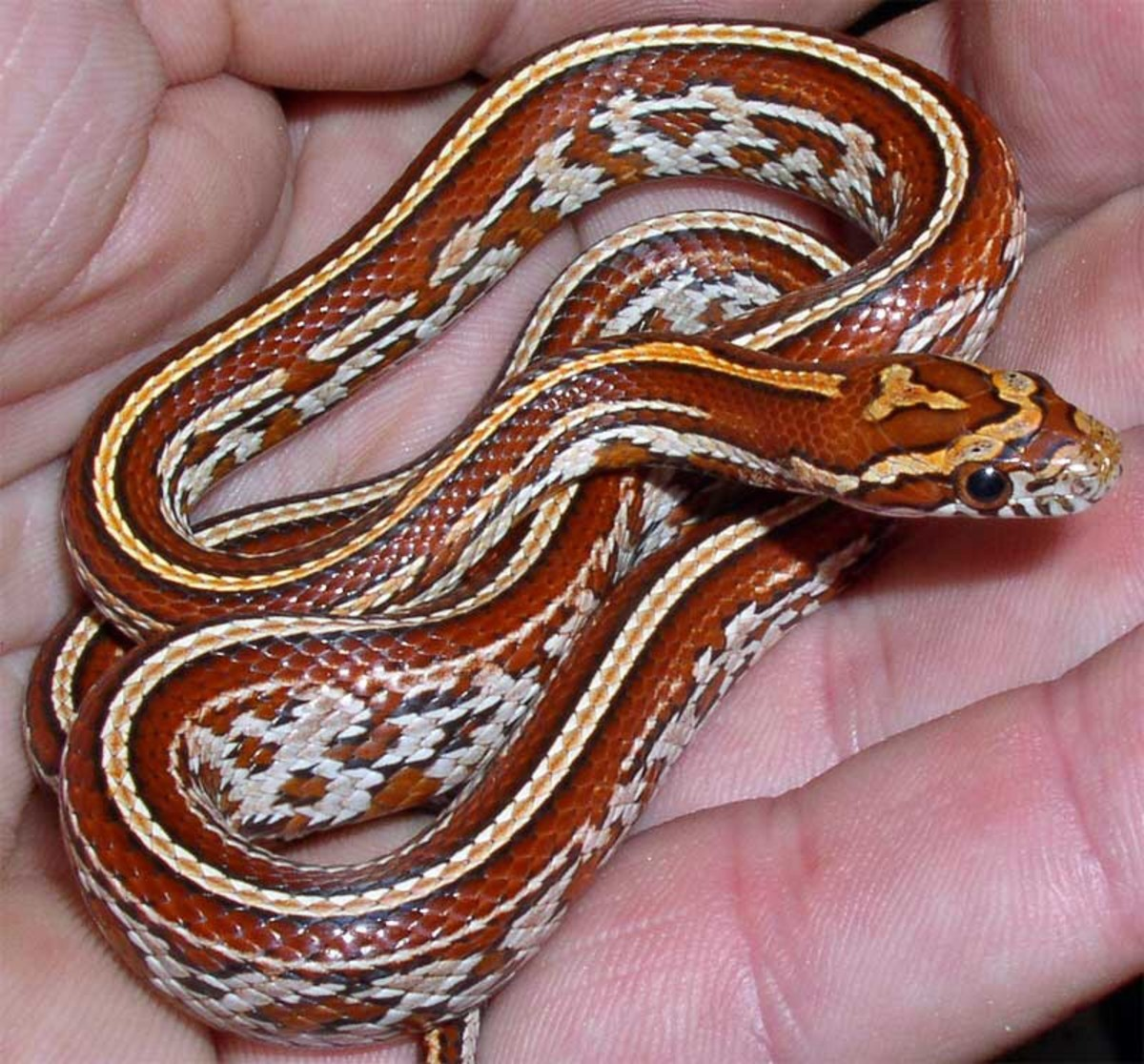 Signs of The Most Common Health Problems in Pet Snakes and How To Treat Them.