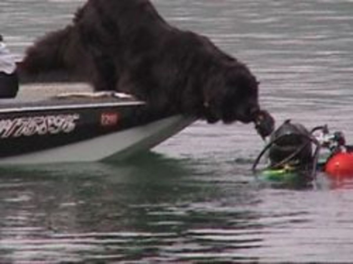 Search and Rescue Newfoundlands
