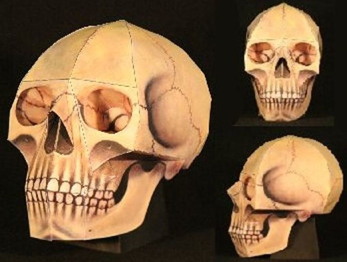 'The Human Skull' Paper Model @ Ravensblight