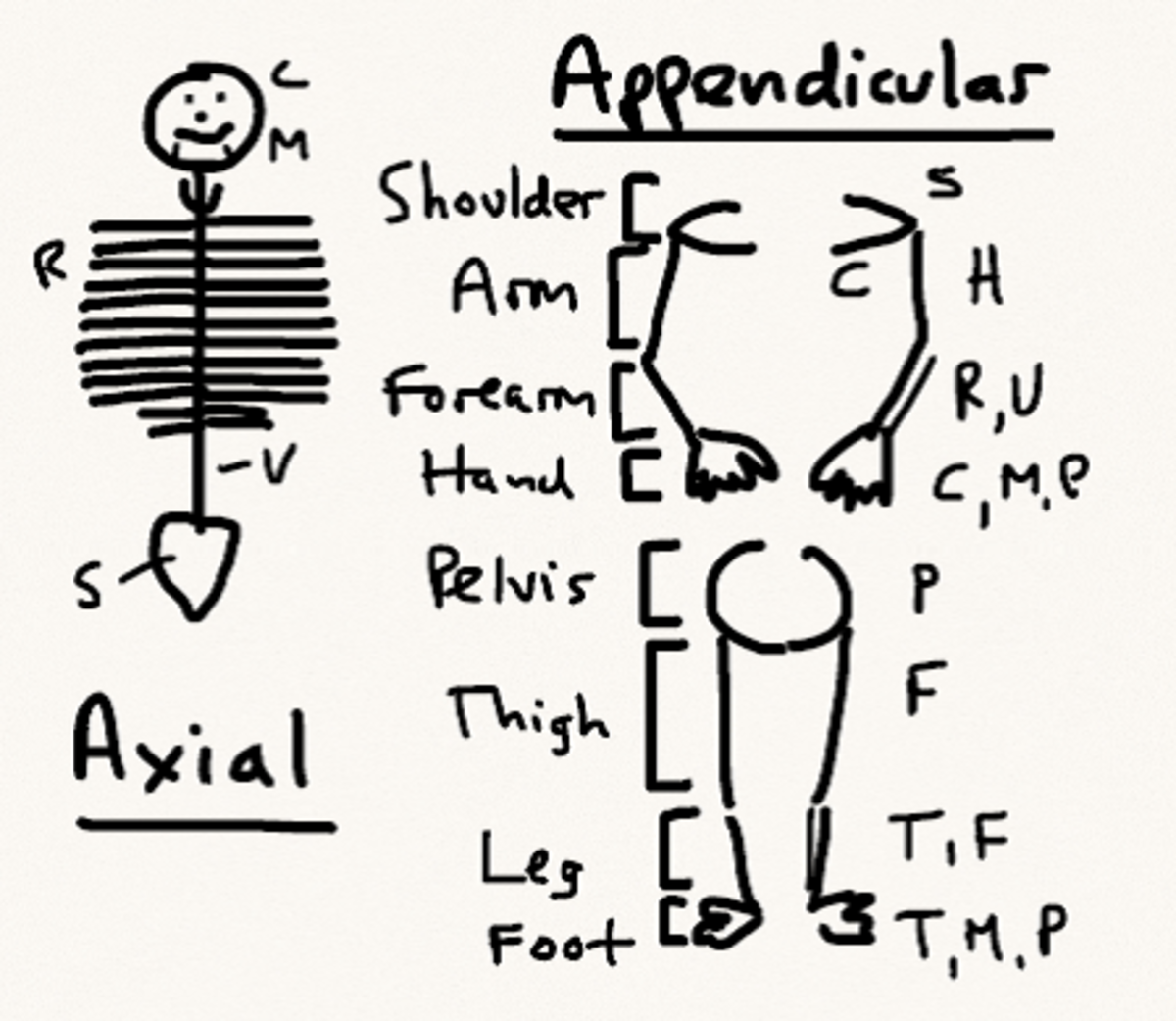 Schematic of the axial and appendicular skeleton