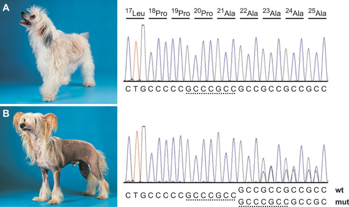 The difference between Chinese Crested Powderpuffs and Hairless Chinese Crested on the FOXI3 genes.