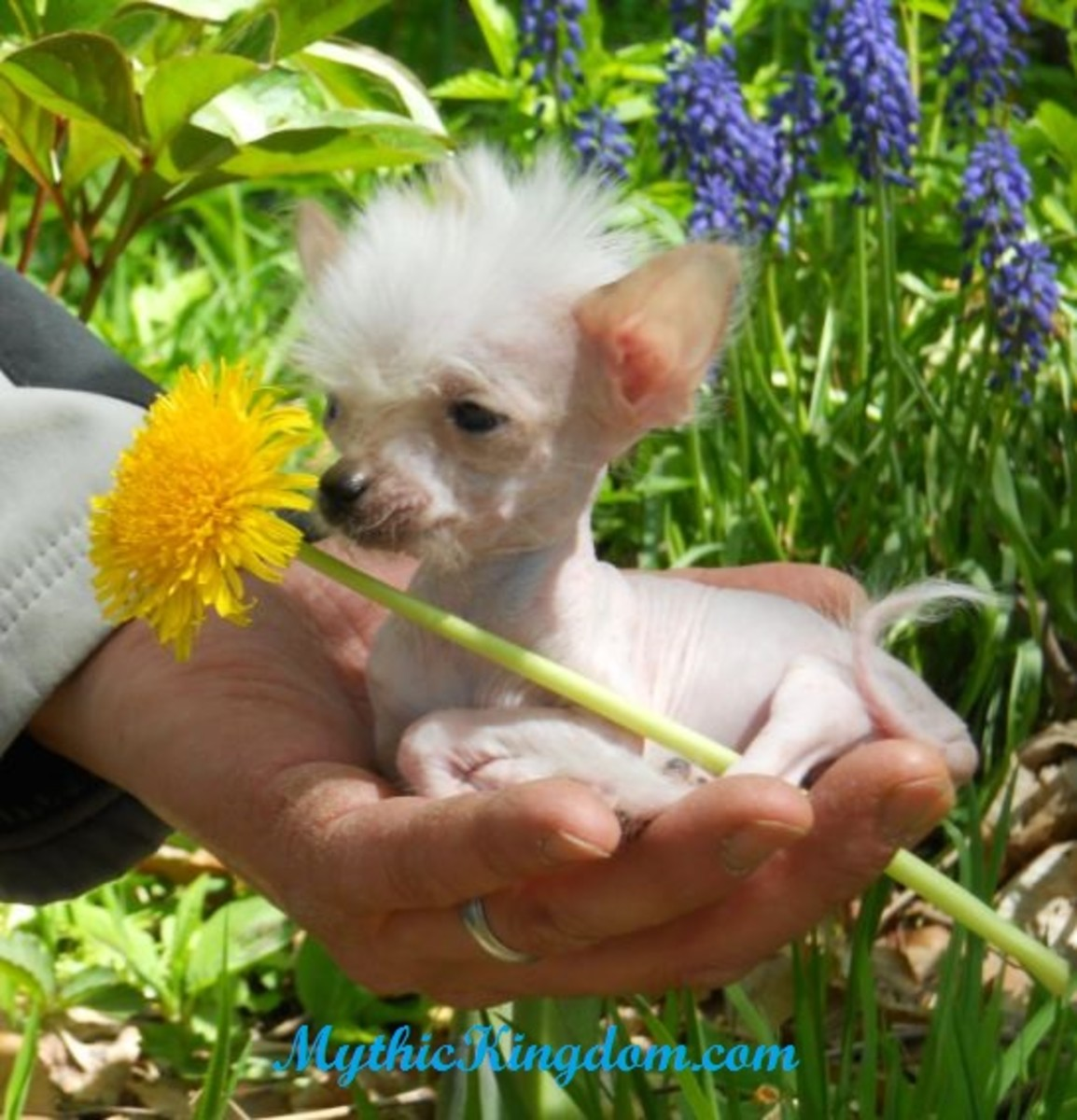 A very young Chinese Crested puppy out in the air.