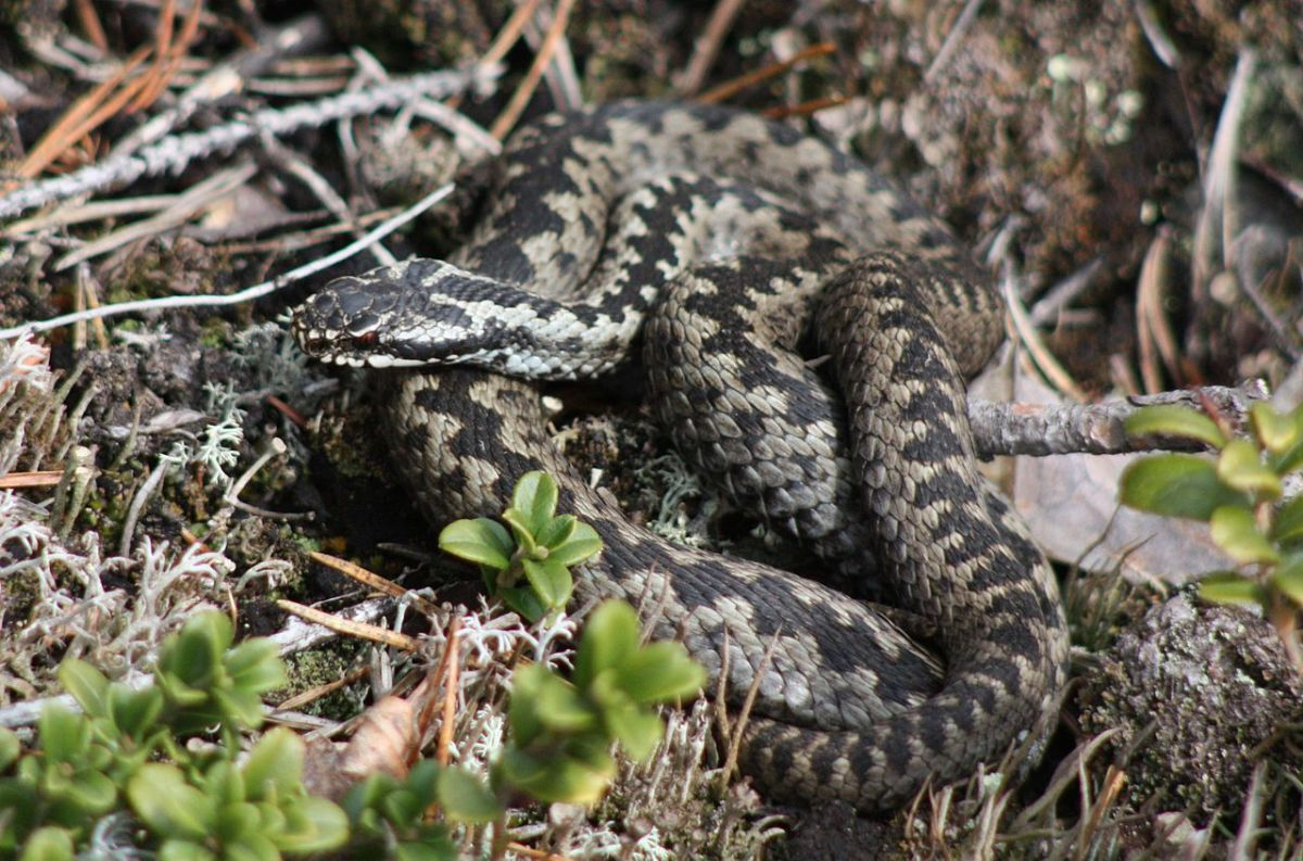 Vipera Berus, the European Adder