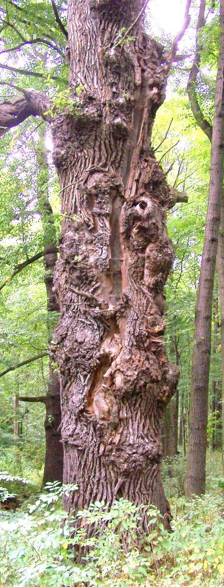 Oak struck by lightning By Nejmlez  CC-BY-SA-3.0-migrated