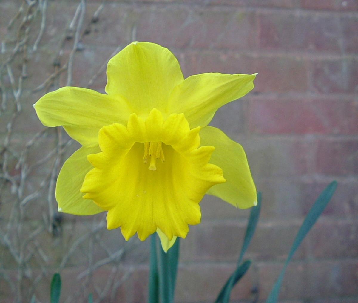 Beautiful Trumpet Daffodil