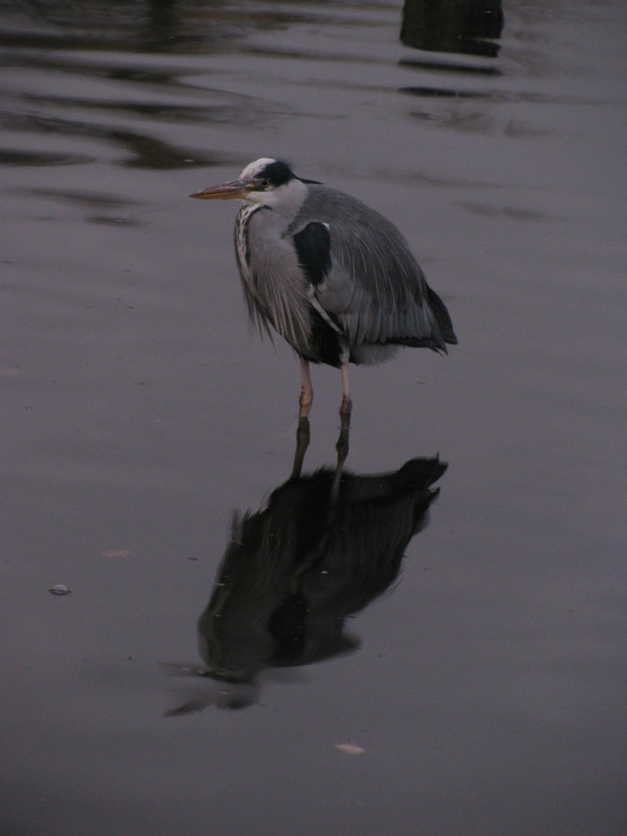 Heron in Hyde Park