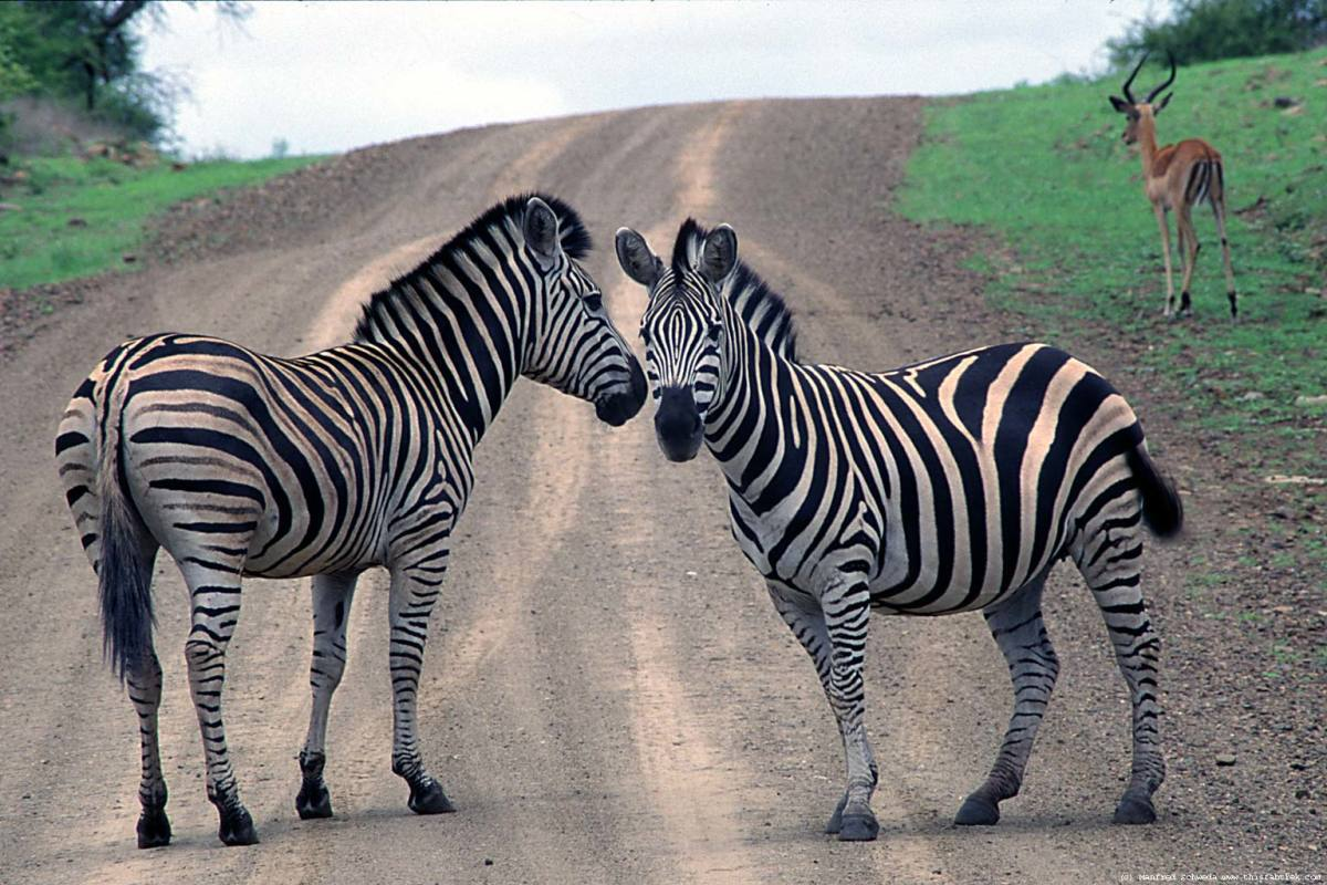 Zebras negotiating a date. Can i see you tonight?  Just kidding.