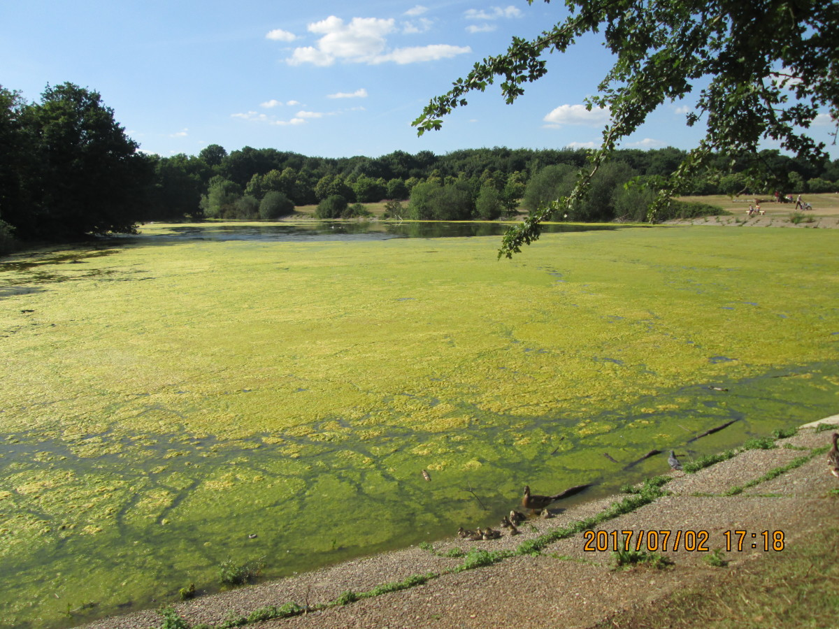 An uncharacteristic hot spell brought on this growth of thick bright green algae. Water had gradually seeped away, leaving the pond shallow, prone to heat - nice for sunbathers, awkward for water fowl to navigate an 'Axminster' carpet-like covering