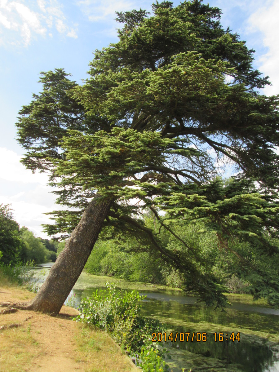 Interesting pine tree, leaning over the lake - anybody know the genus?