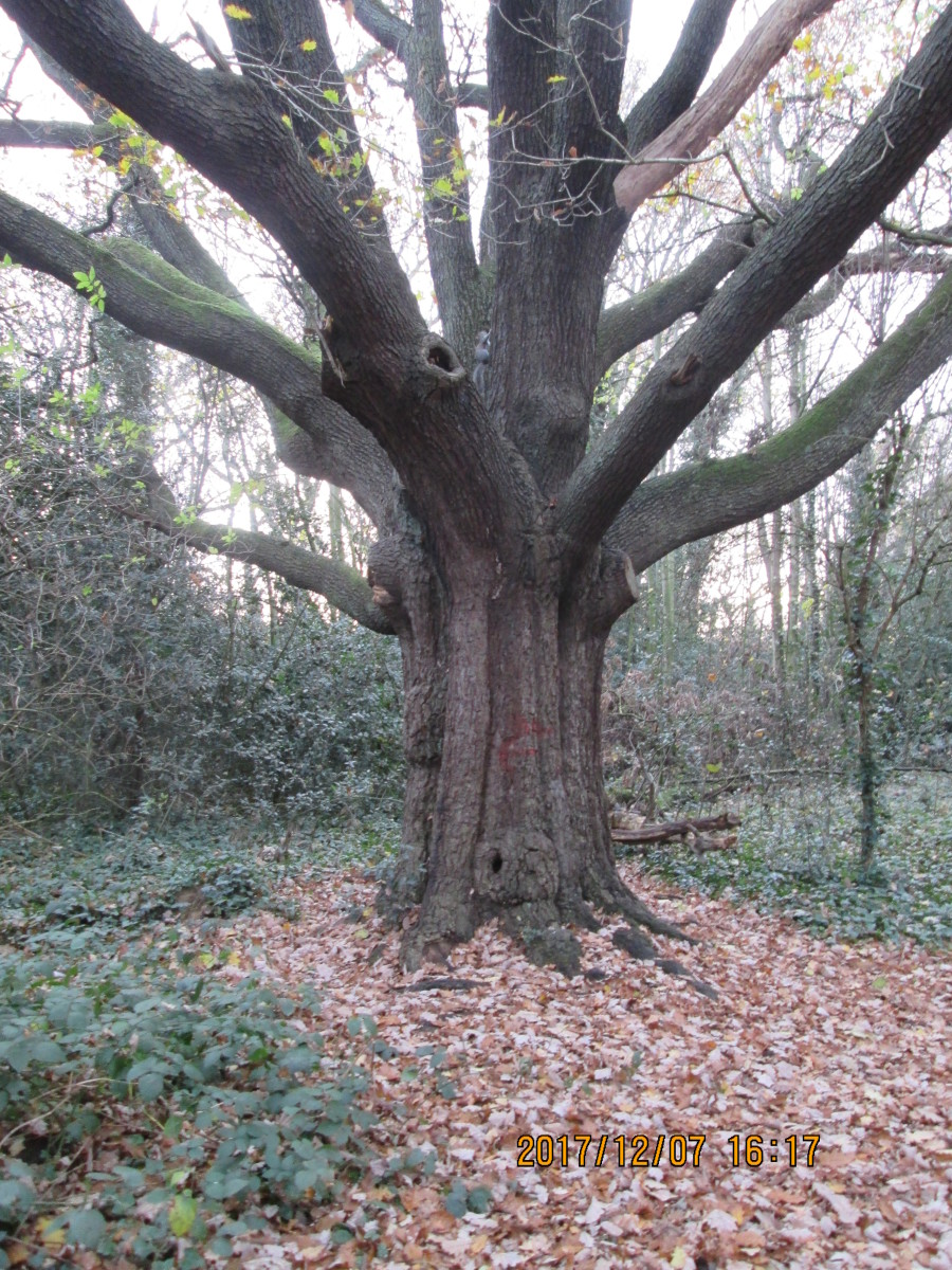 The 'Repton Oak' in the 'bottleneck' of the park towards Blake Hall Road. It is in fact nine oaks, bound together about 300 years ago by the Tylney-Long family's head gardener, and grown as one. It's suffered on its southern side, with broken boughs