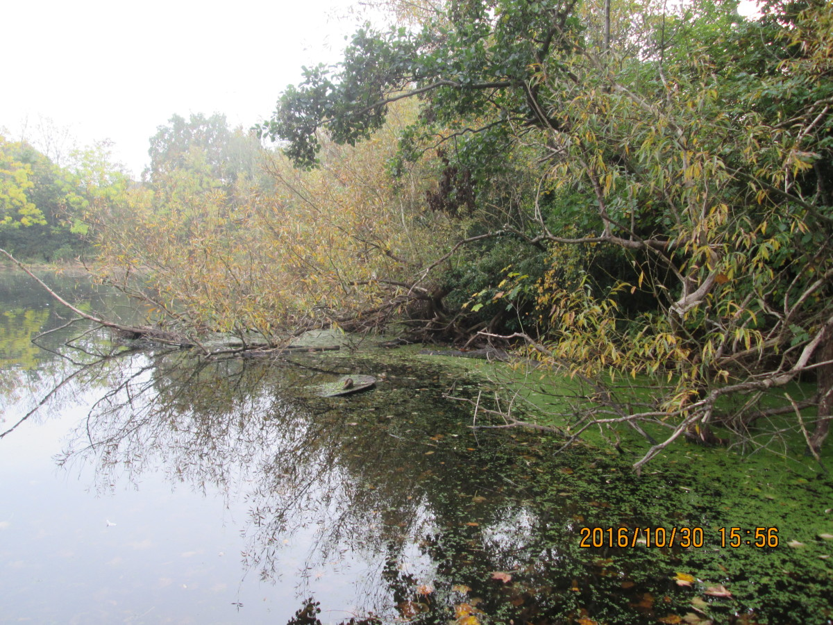 The side that faces the main 'Heronry' pond is clear enough but for scum at its easternmost end near the riding stables