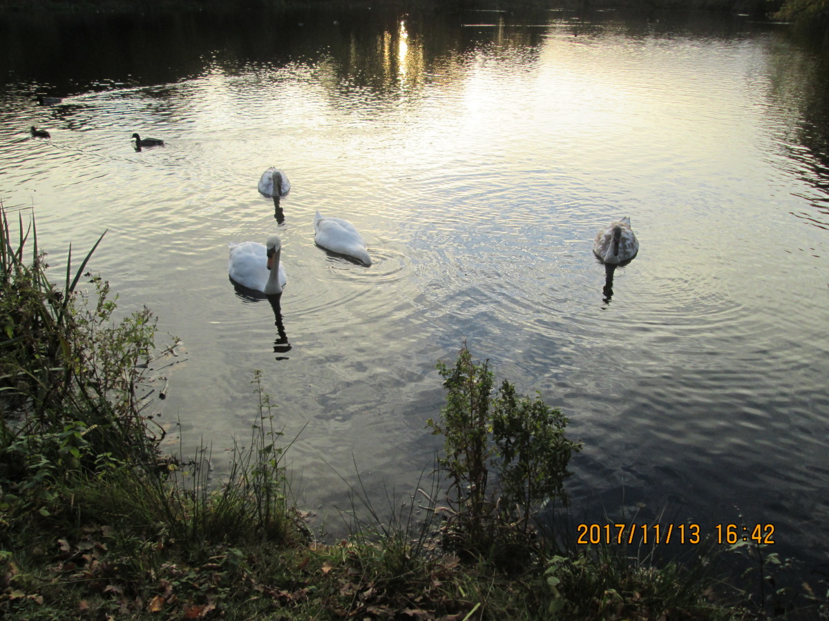 A family group of swans - the adults left it a bit late to start, as their cygnets are not fledged yet and winter is on us. The pond's largely frozen overnight, with gaps in places for the wildfowl to swim in since this picture was taken