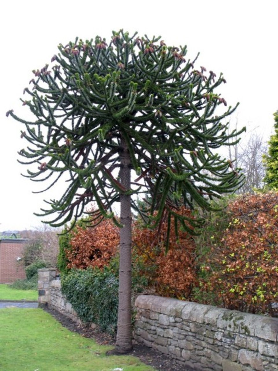 The Monkey Puzzle Pine seen above is a surviving relative of the Wollemi pine
