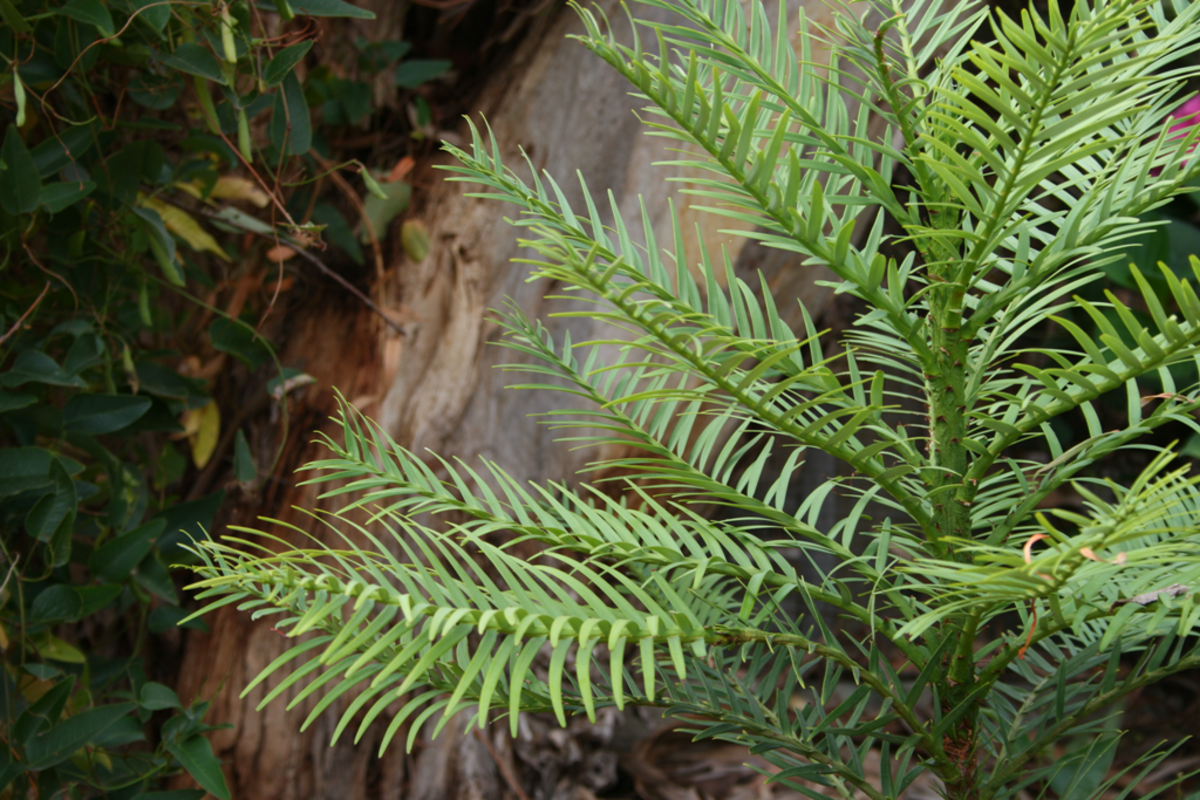 Wollemi Pine - A Living Fossil