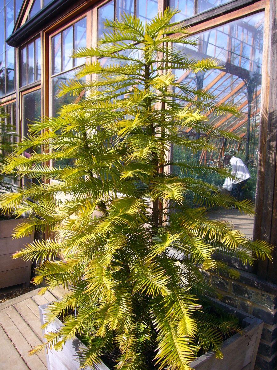 Wollemia pines, Cambridge University Botanic Garden