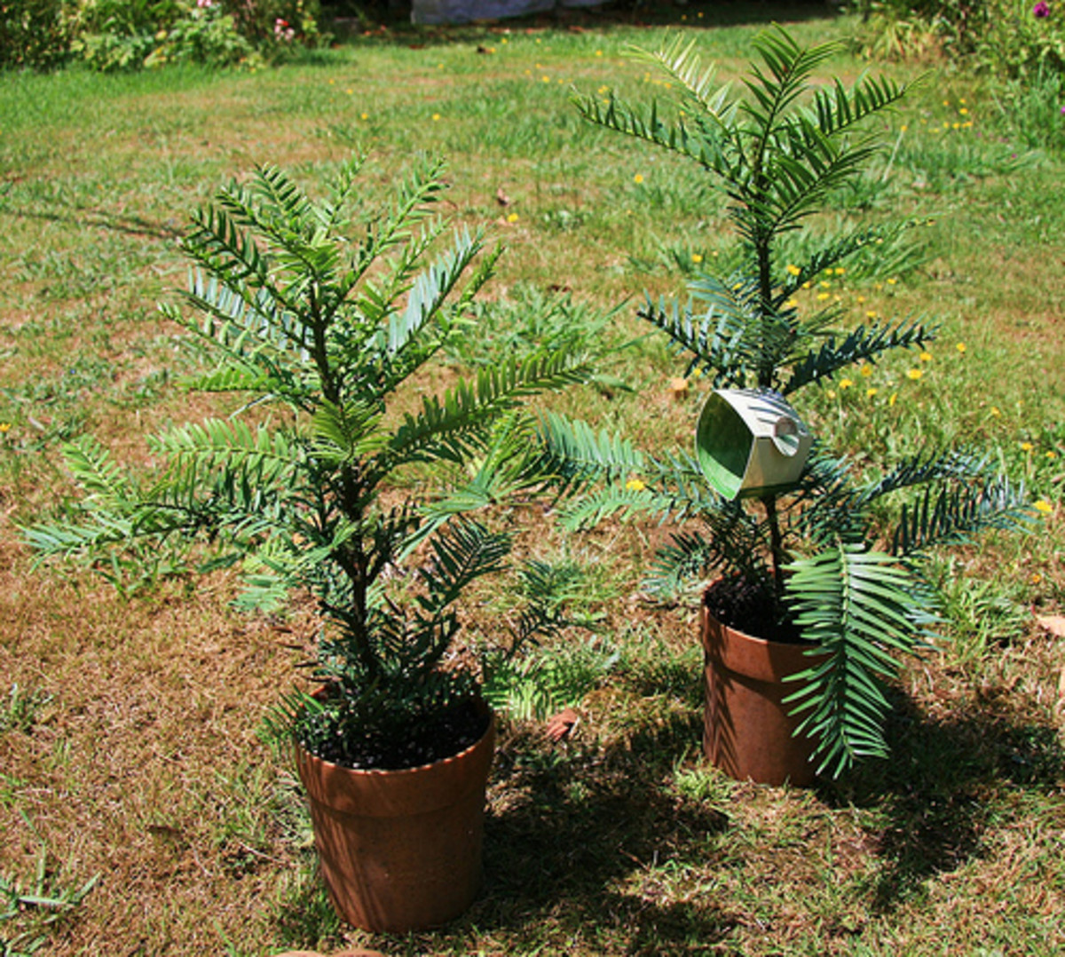 Young Wollemi pines