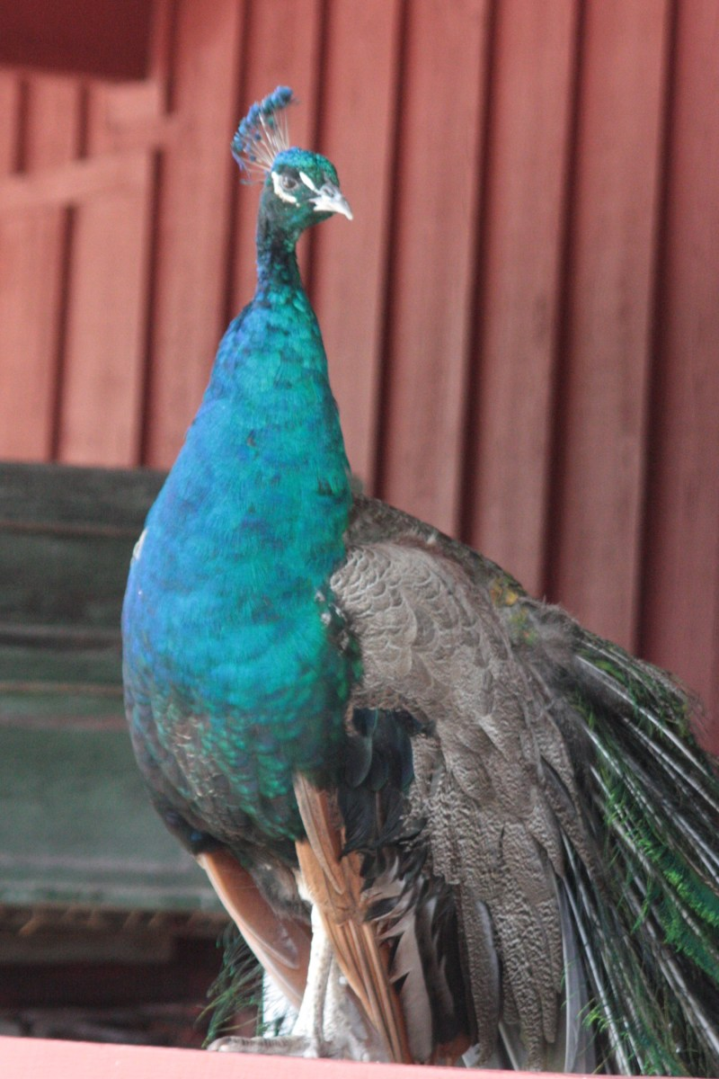 Peacocks in Texas?