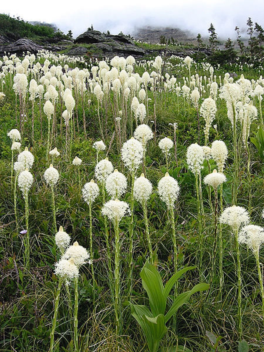 Beargrass in Glacier National Park [3]