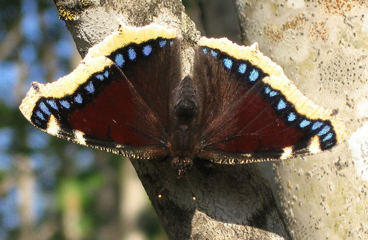 State Butterfly: Mourning Cloak [7]