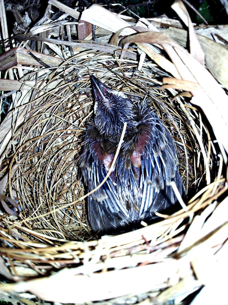 yellow-vented-bulbul-hatchling