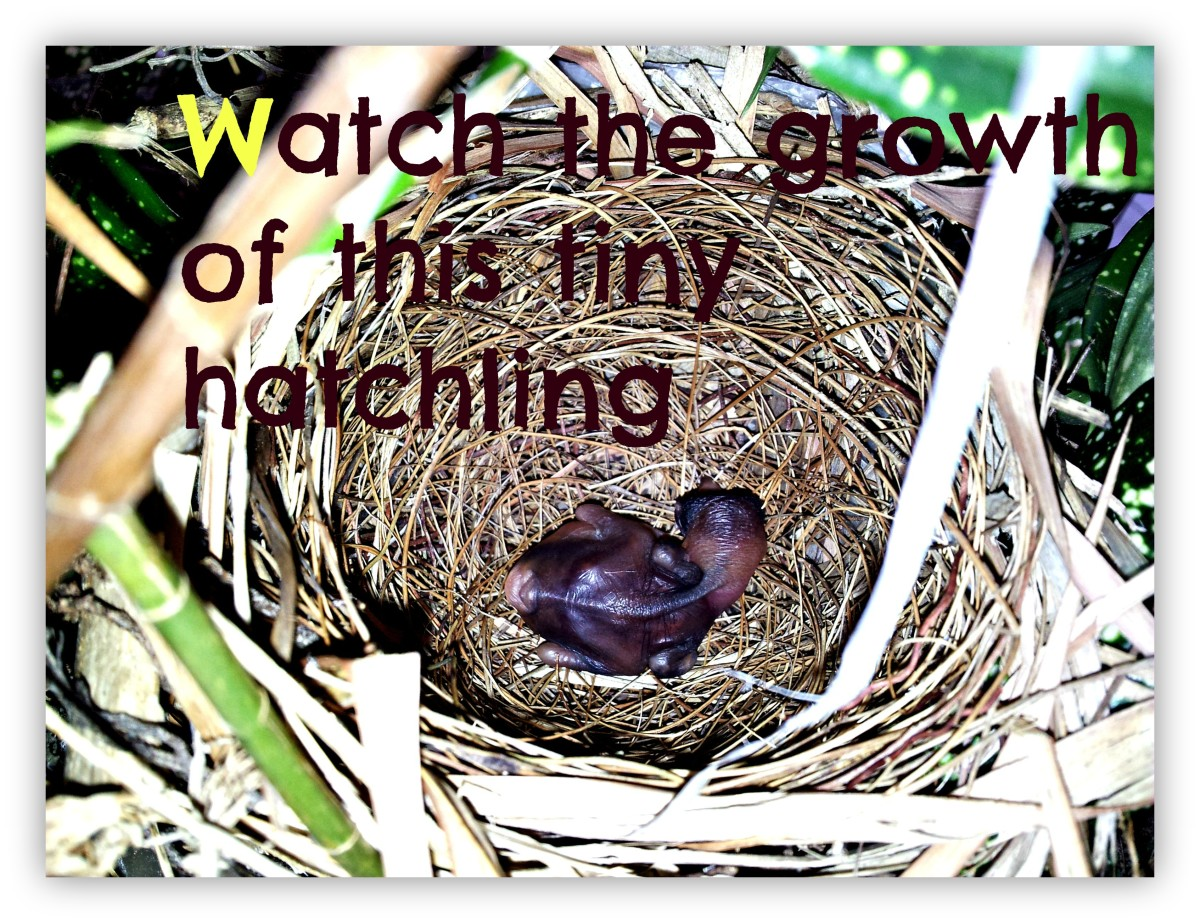 Yellow-Vented Bulbul Hatchling (A 16-Day Chronicle Of Growth)