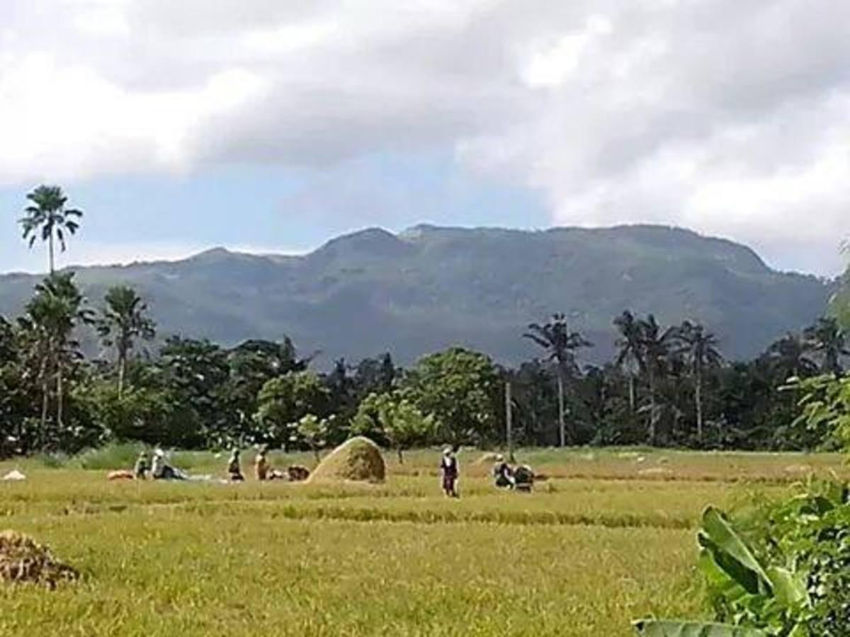 Panoramic View @ Baliuag Nuevo, farmers threshing newly-harvested rice or palay (Photo Source: Ireno A. Alcala)