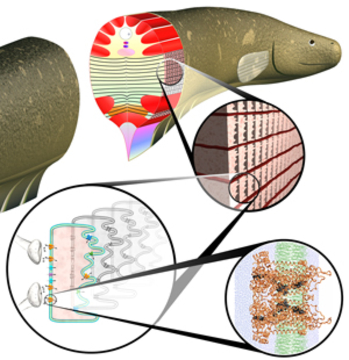 Electric eel anatomy; Models of Eel Cells Suggest Electrifying Possibilities