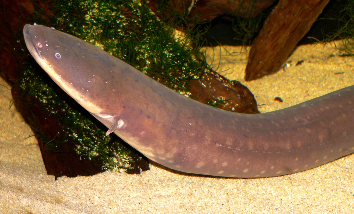 Electric Eel - The Most Powerful Electric Fish