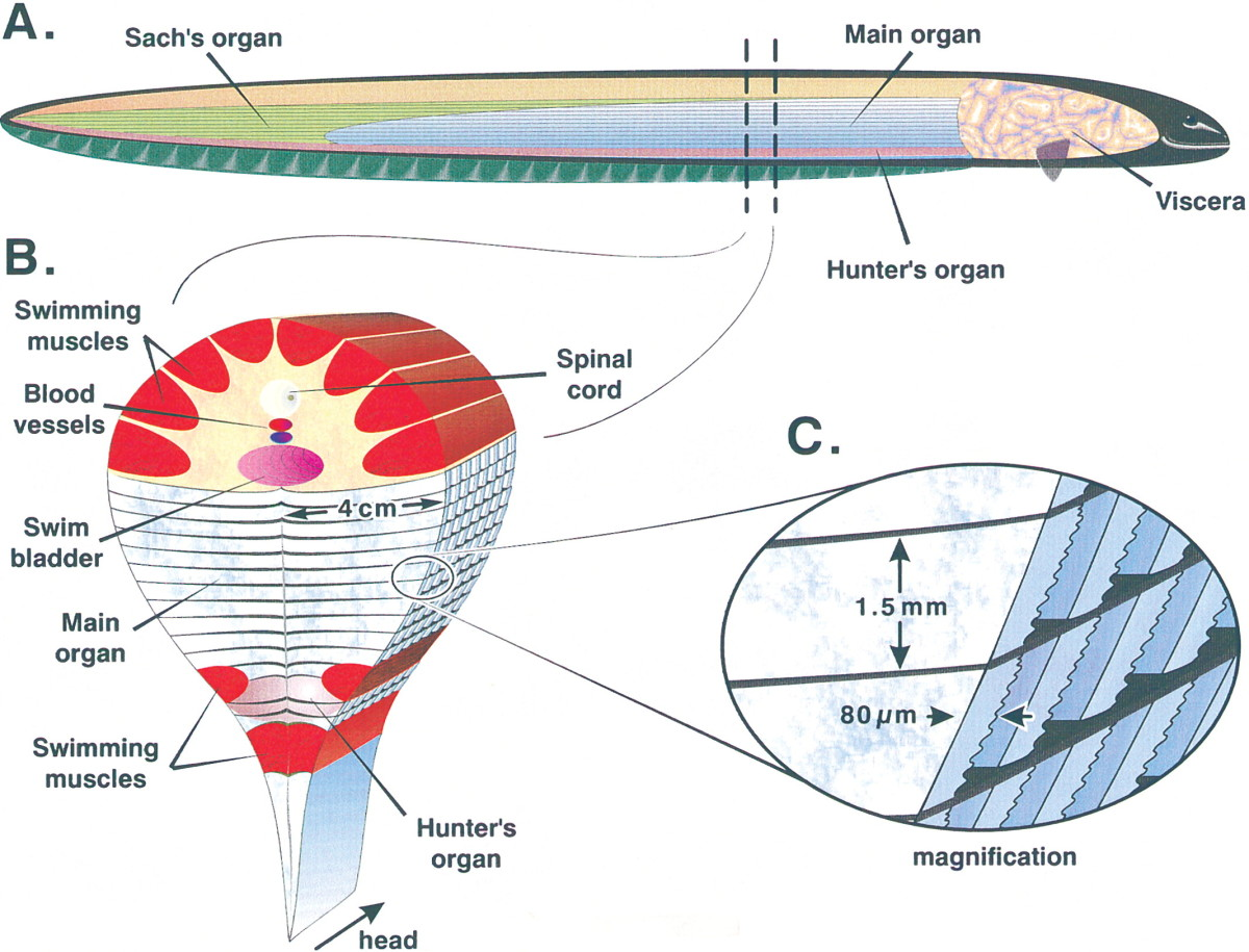 Electric eel anatomy