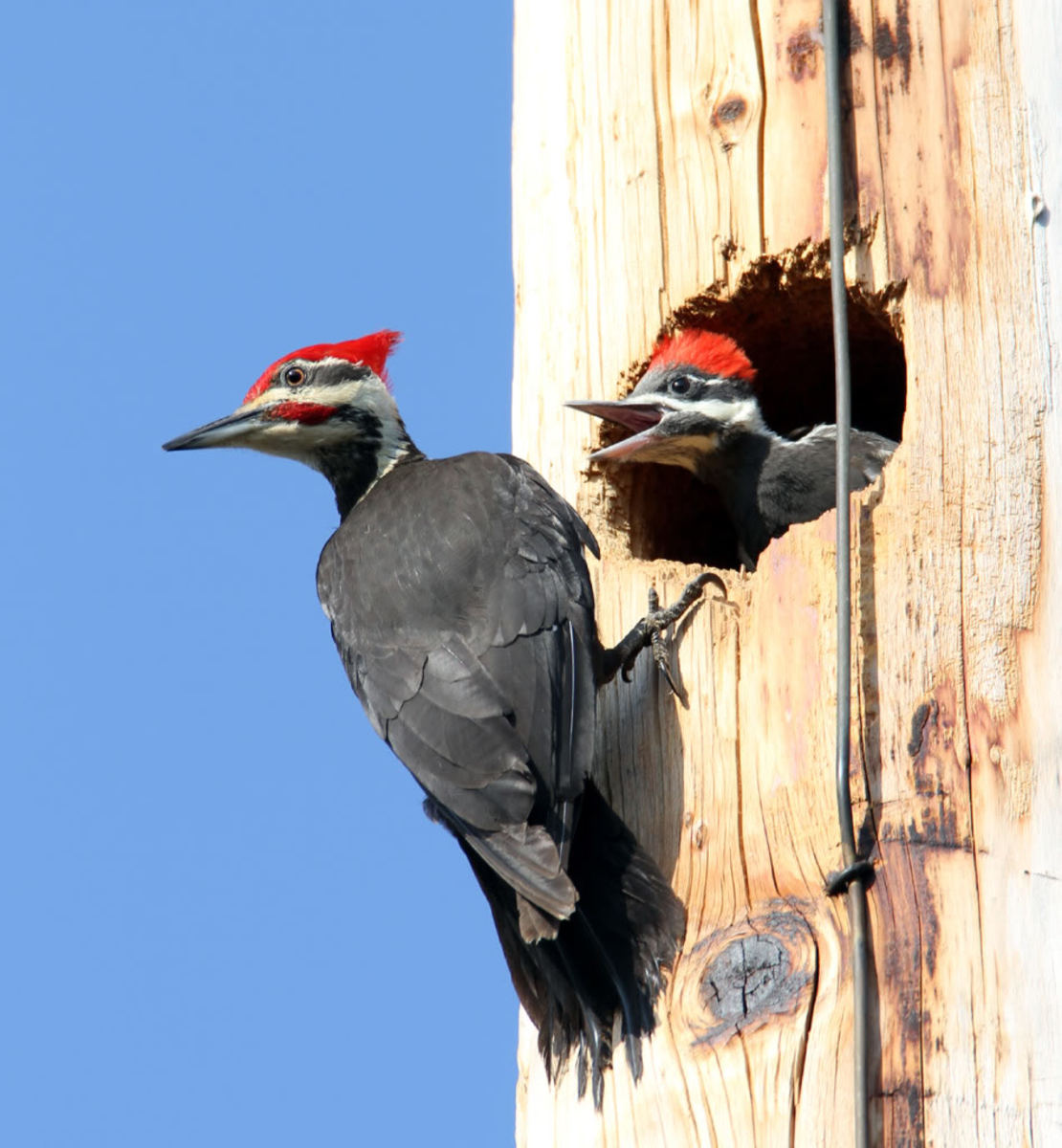 The Pileated Woodpecker, a special problem for utility poles.