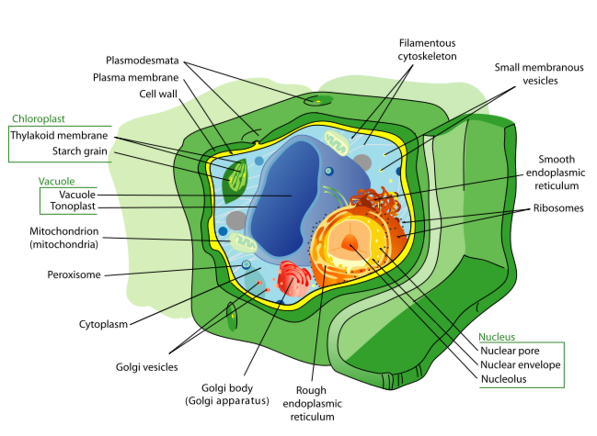 The structure of plant cell