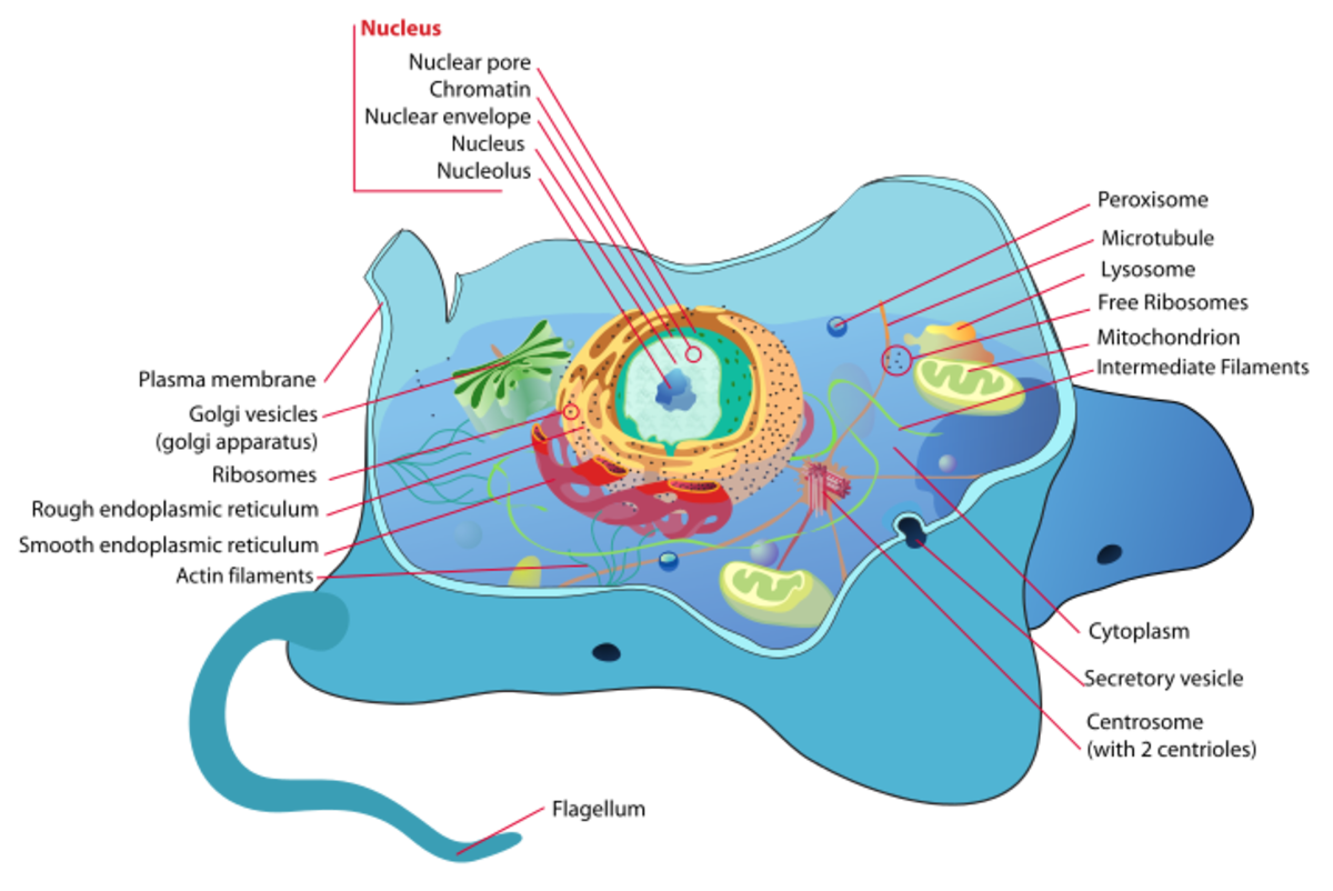 The structure of Animal cell