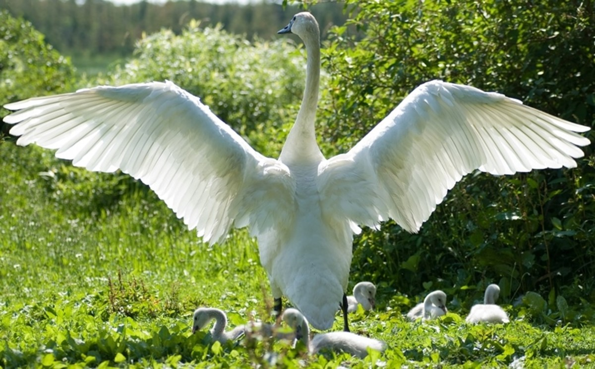 A swan protecting its cygnets under its wings