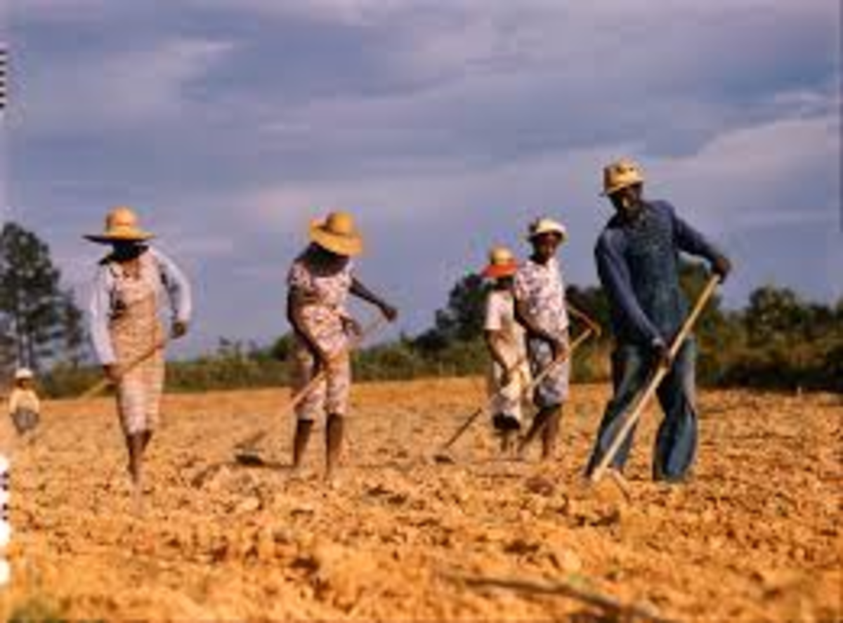 """Another tough job: Chopping cotton to thin-out each hill so you can get a good  """"stand"""" of healthy cotton."""