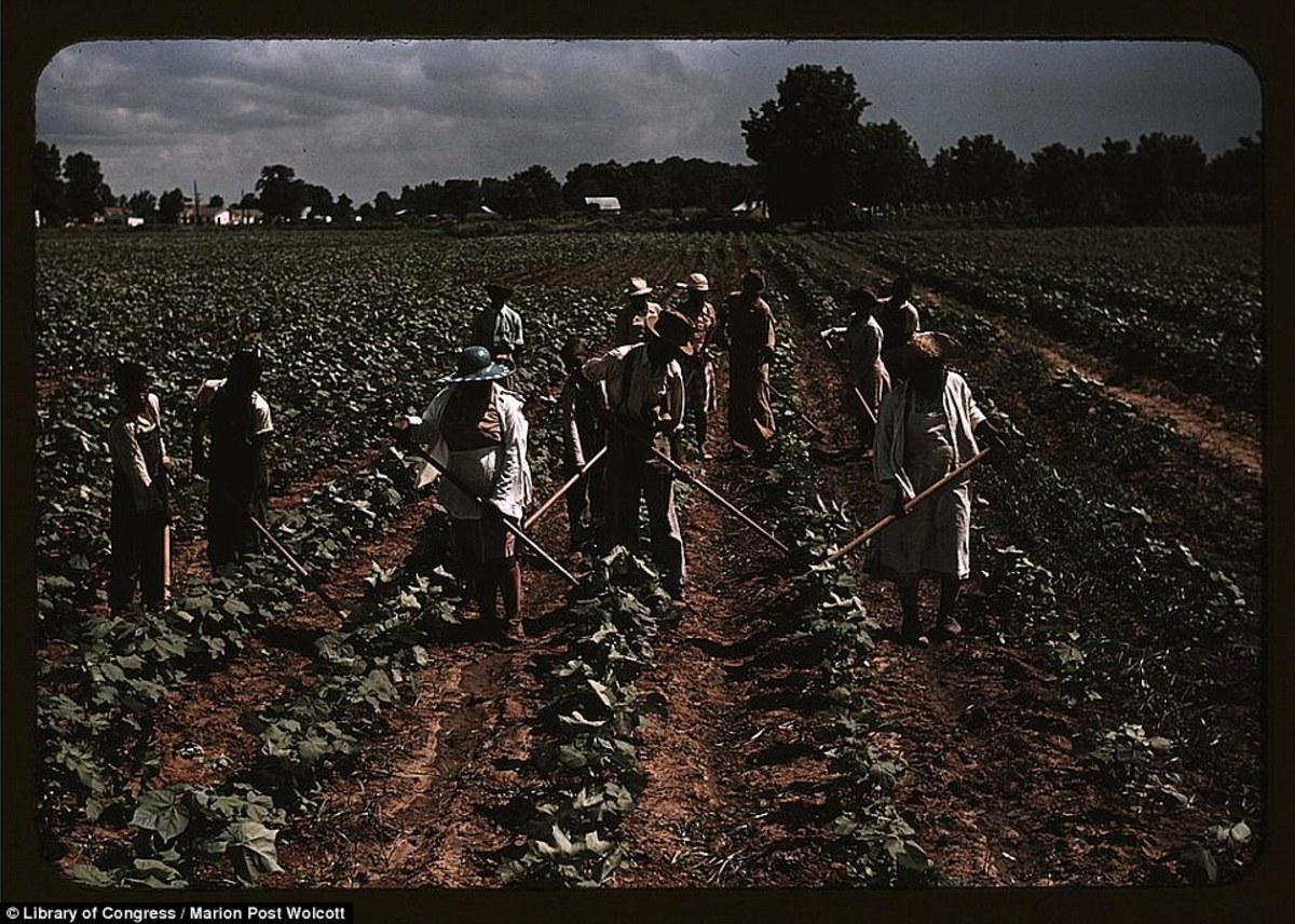 Cotton picking in Belzoni, Miss.
