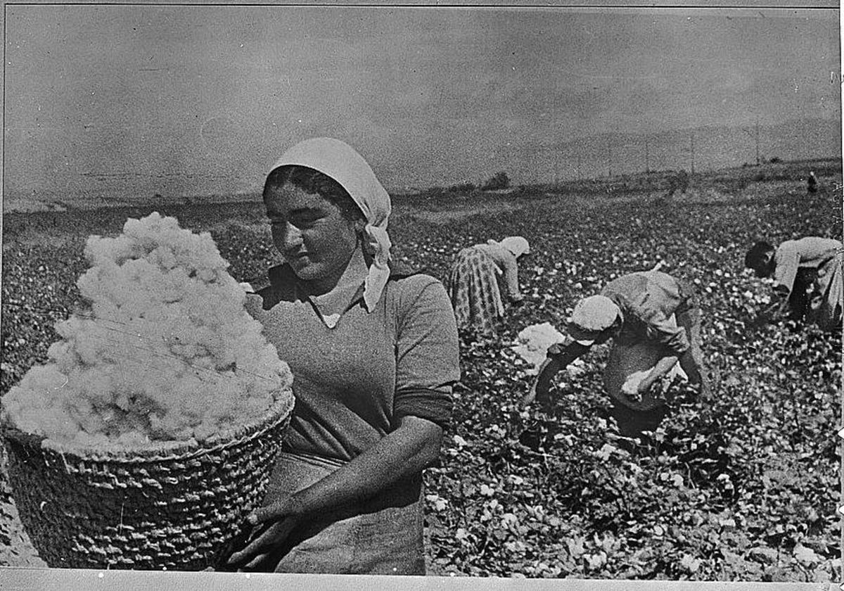 Cotton picking in the 1930's.