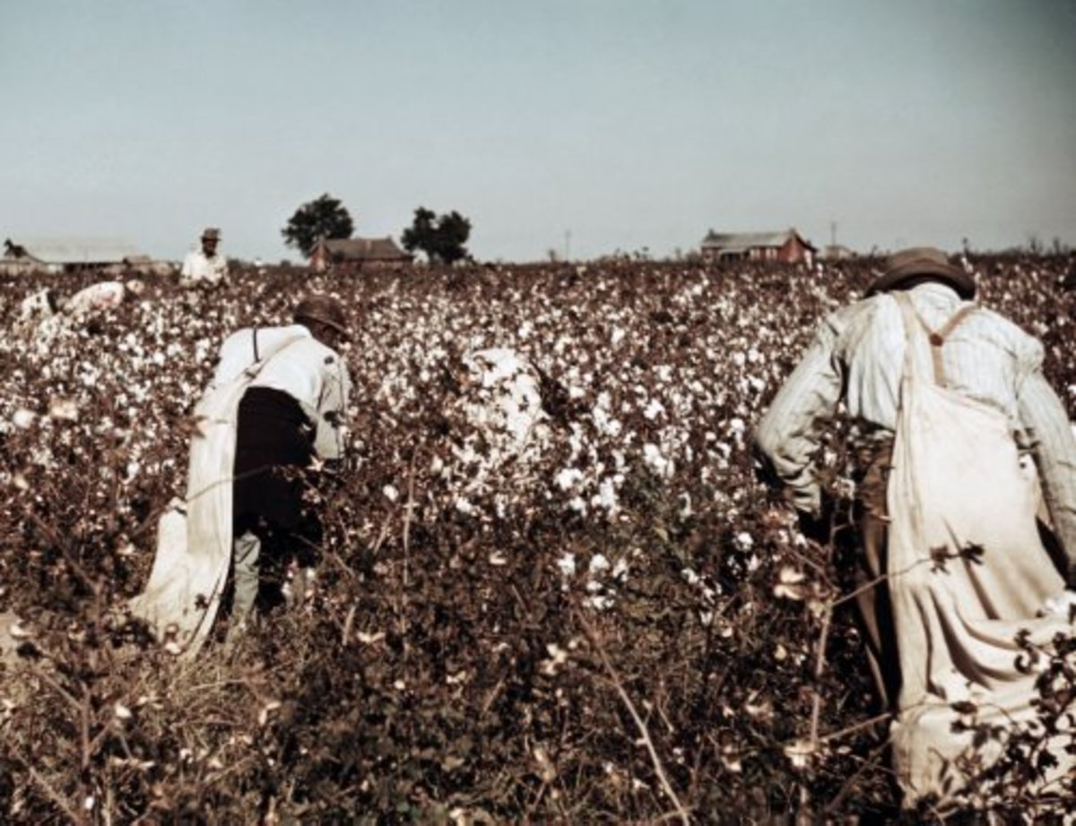 Cotton picking in the 1950's.