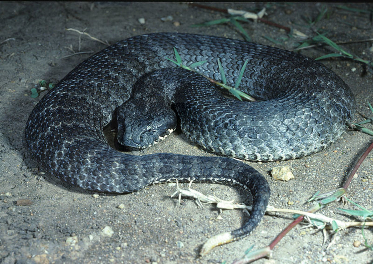 The common death adder normally grows to between 2.2 feet and 3.2 feet in length (70–100 centimeters).  Although common, its existence has been threatened by the ongoing Australian cane toad invasion.