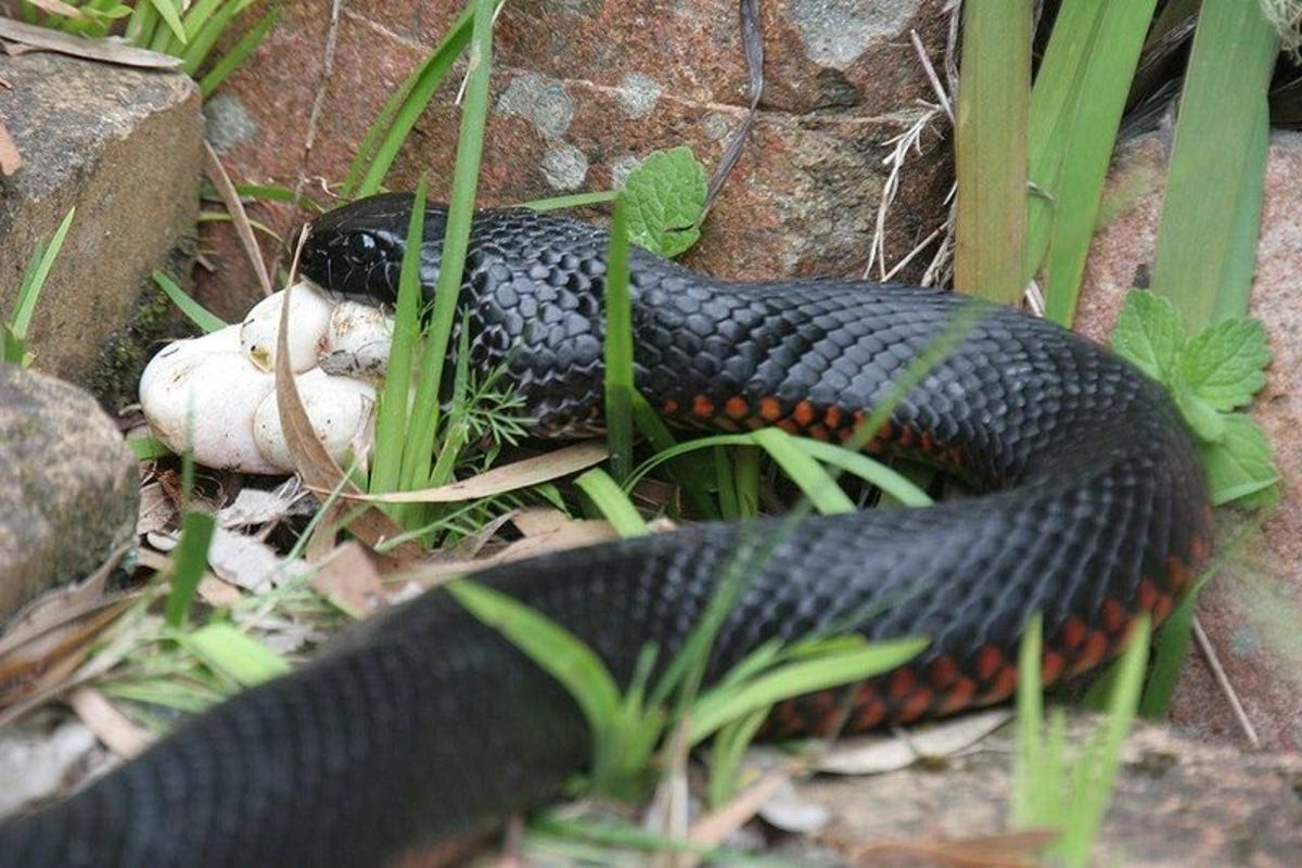 Red-bellied black snake eating the eggs of a green tree snake near Dungog, Australia.  The snake feeds mainly on frogs, lizards and small mammals. They also eat other snakes, including other red-bellied black snakes.