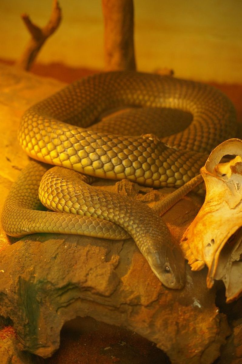 Mulga snake at the Armadale Reptile Centre.  These snakes can be found in most Australian states.  They eat lizards, birds, small mammals, frogs and other snakes, including venomous types.