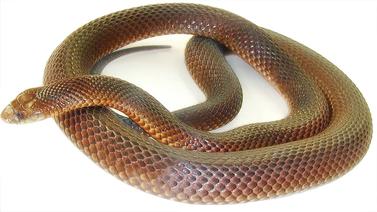 A king brown snake, also known as a mulga snake. The mulga is one of the longest venomous snakes on the planet and is the second longest in Australia.  Despite its name, this snake is actually a member of the black snake genus.